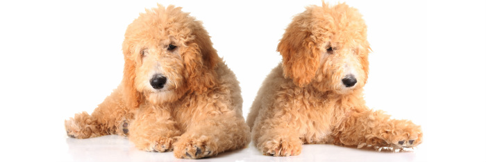 Adorable Goldendoodles - Goldendoodles Cincinnati, Ohio